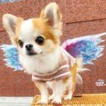 Chihuahua à poil long
