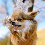 20 choses dangereuses pour votre Chihuahua Chiwawa