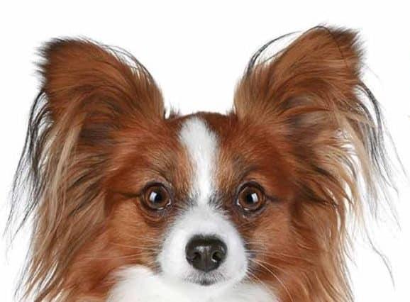 Chihuahua papillon tout ce qu'il faut savoir