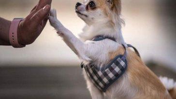les Bénéfices d'avoir un Chihuahua