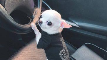 Petit Chihuahua en voiture