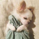 Sommeil Chihuahua chiwawa
